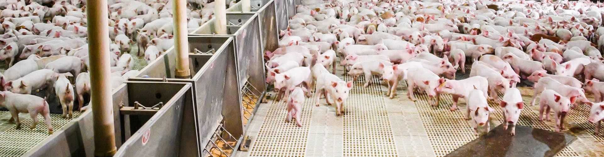 Swine Management Software | PigCHAMP com