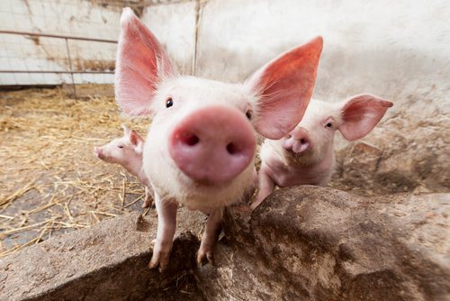 KPIs provide insight into your swine operation